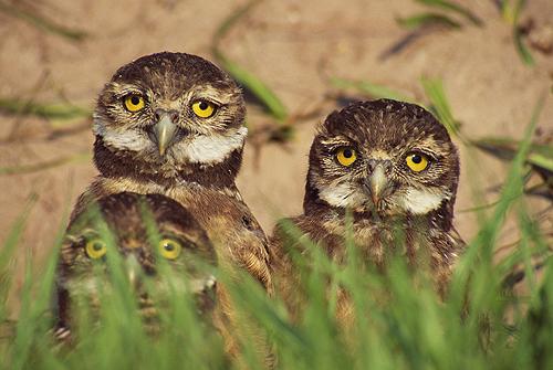 Baby Burrowing Owls, Florida