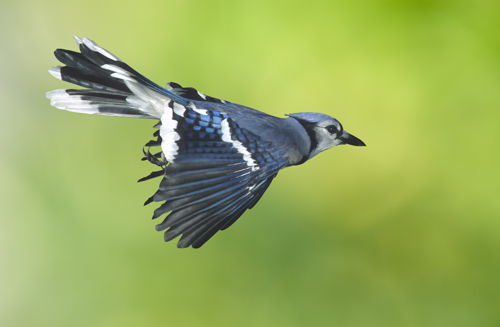 Blue Jay in Flight