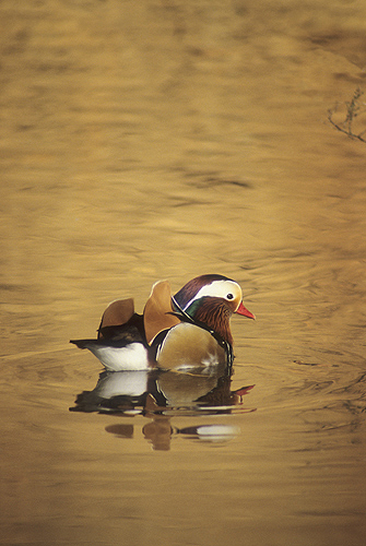 Mandrin Duck on a Golden Pond