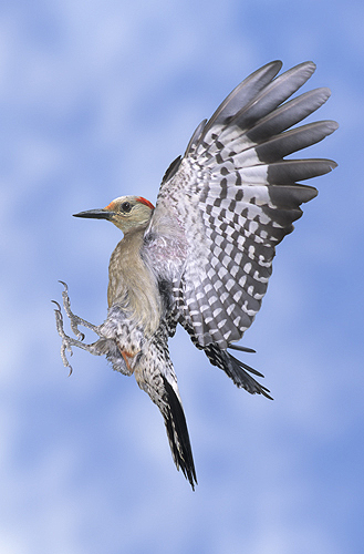 Red Bellied Woodpecker in Flight-2