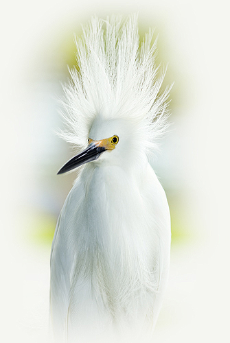 Snowy Egret Head Feathers Blowing in the...