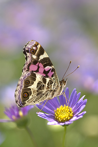 American Painted Lady Butterfly on a Lavendar...