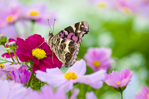 American Painted Lady Butterfly on a Pink...