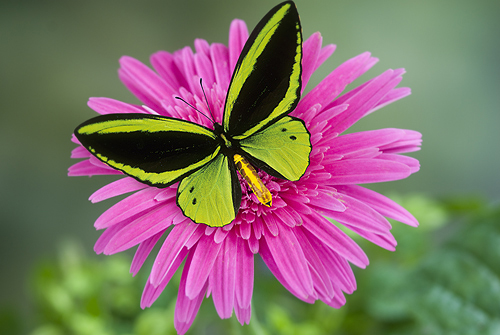 Birdwing Butterfly on a Pink Flower