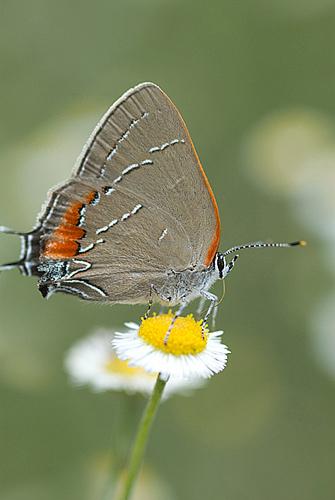 Hairstreak Butterfly, Florida