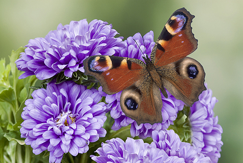Peacock Butterfly, Inachis io