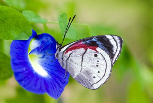 Perisama euriclea Butterfly, Ecuador