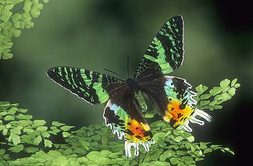 Sunset Moth, Madagascar