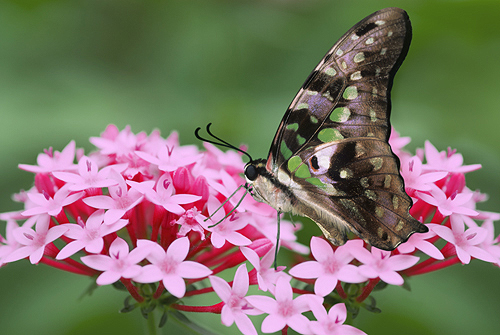 Tailed Jay Butterfly, Singapore