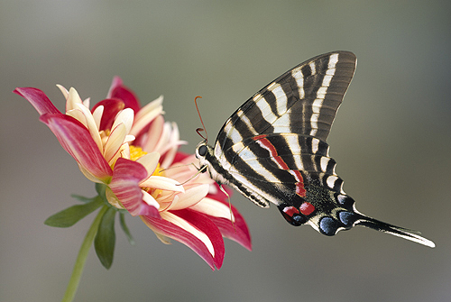 Tiger Swallowtail Butterfly on a Dahlia