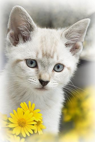 Snowball, a Sweet Kitten