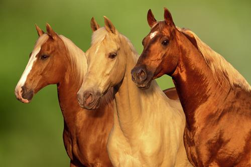 Palamino Horses