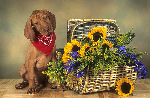 Vizsla Puppy and Picnic Basket