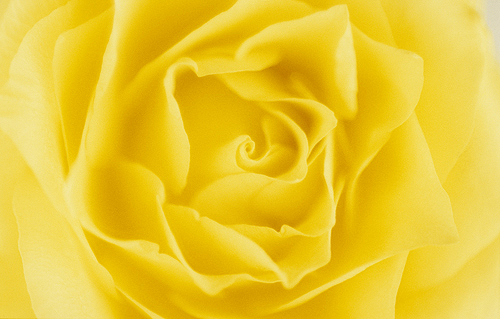Close Up Detail of a Yellow Rose
