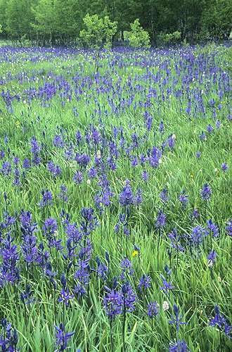 Meadow of Camas Flowers, Glacier National...