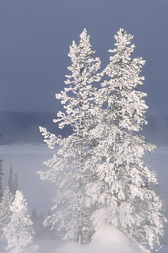 Rime Frost on Pines, West Thumb Geyser Basin,...
