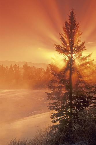 Sunrays Filtering Through a Pine Tree, Whitefish,...