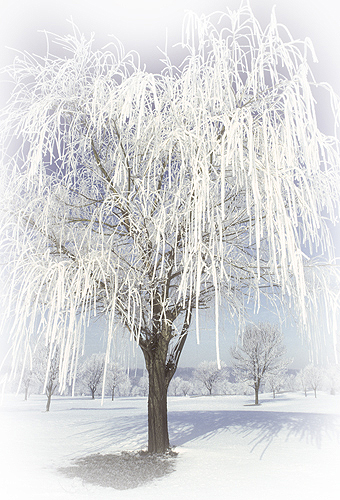 Weeping Willow Tree Covered in Frost, Lafayette,...