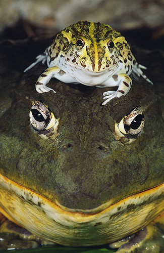 African Bullfrog Adult With Baby on Head