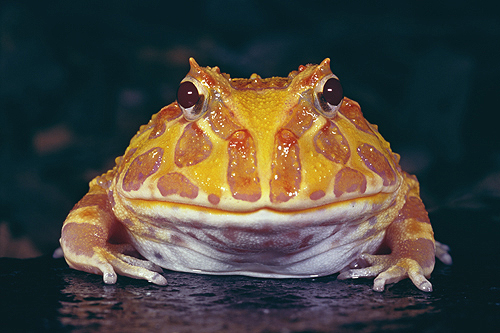 Albino Horned Frog, South America