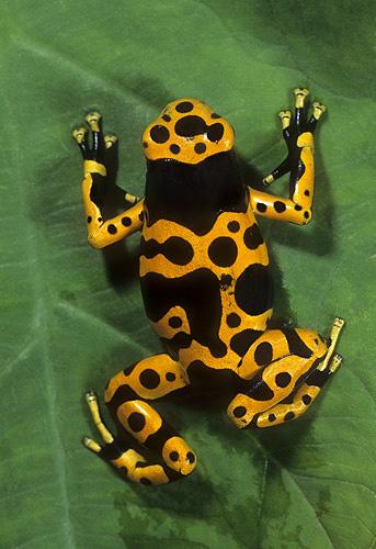 Arrow Poison Frog, Dendrobates luecomelis,...