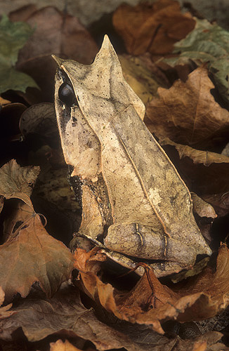 Asian Leaf Frog, Megophrys montana