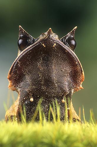Asian Leaf Frog, Portrait