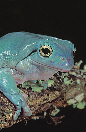 australian-whites-tree-frog-blue-phase-l
