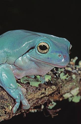 Australian White's Tree Frog, Blue Phase
