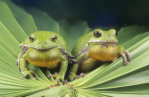 Barking Tree Frogs, Florida