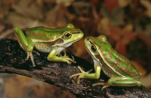 Bell's Frog, Australia