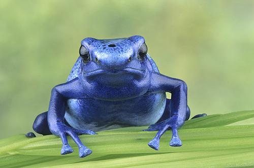 Blue Poison Frog, Rainforest Costa Rica