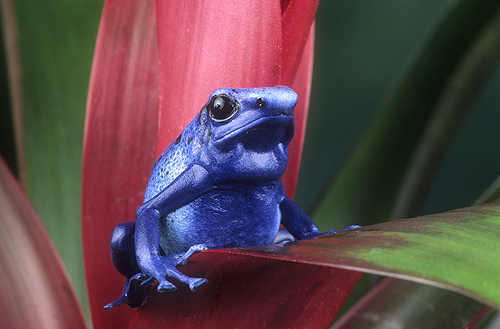Blue Poison Arrow Frog on a Bromeliad