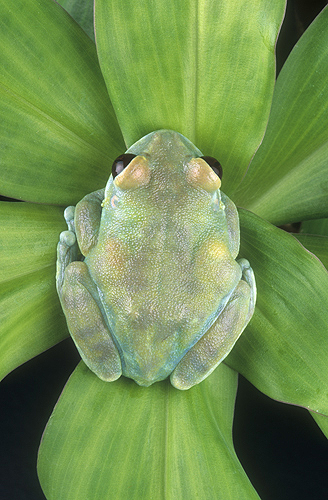 Blue Tree Frog, Tanzania, Africa
