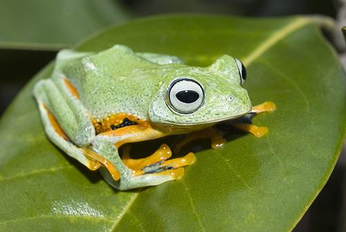 Blue Webbed Flying Frog