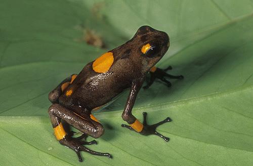Poison Arrow Frog, Dendrobates histrionicus,...