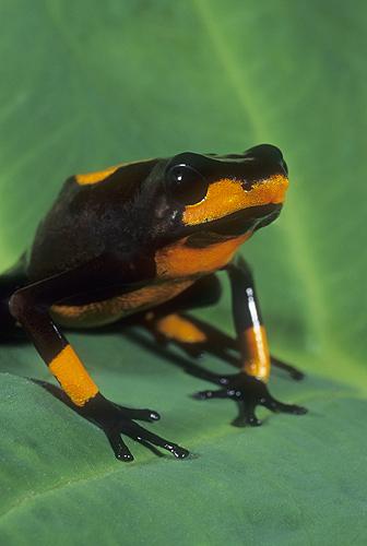Arrow Poison Frog, Dendrobates histrionicus,...