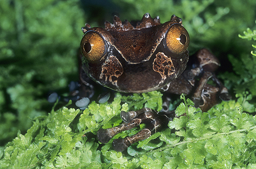 Rare Crown Frog, Anotheca spinosa, Monteverde,...