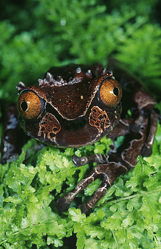 Rare Crown Frog, Anotheca spinosa, Costa...