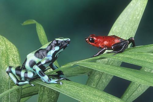 Poison Arrow Frogs, Dendrobates auratus and...