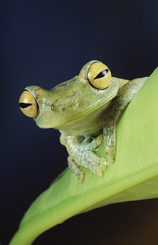 Forest Green Tree Frog, Ecuador
