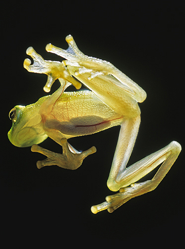 Glass Frog Showing The Internal Organs, Backlit,...