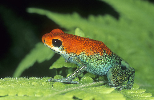 Granular Poison Arrow Frog, Dendrobates granuliferus,...