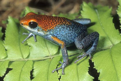 Granulated Poison Arrow Frog, D. granuliferus,...
