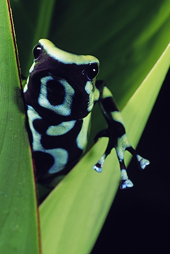 Green and Black Poison Frog, Costa Rica