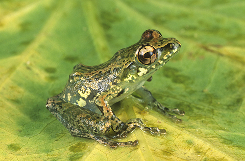 Green Tree Frog, Mantidactylus argenteus,...