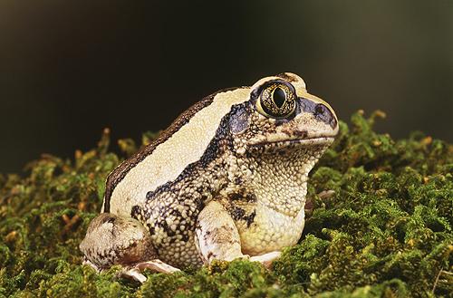 Horseshoe Forest Frog, Africa