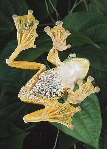 Java Flying Frog, Underside, Showing Webbed...