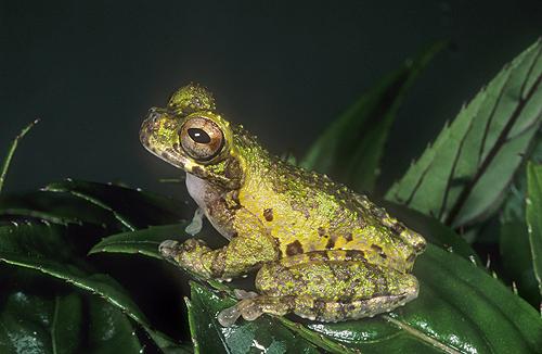 Lancaster's Tree Frog, Hyla lancasteri, Costa...