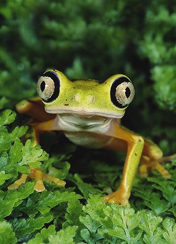 Lemur Leaf Frog, Costa Rica